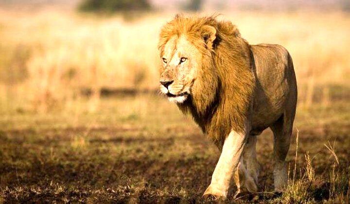 Mimpi Tentang  Singa